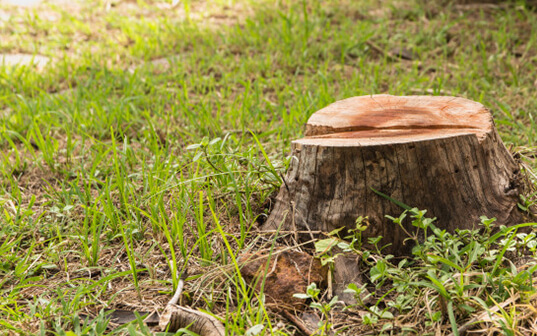 Close up view of freshly cut tree stump in grassy lawn