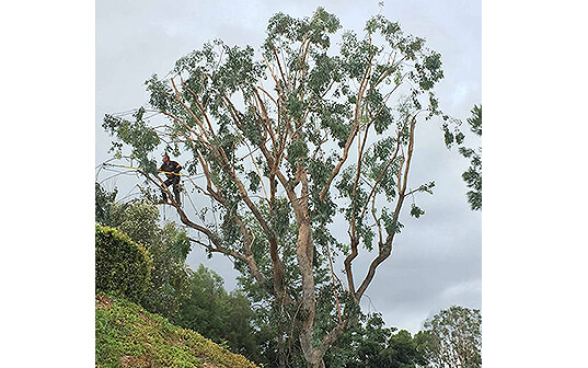 Crowned tree on hillside in los angeles california