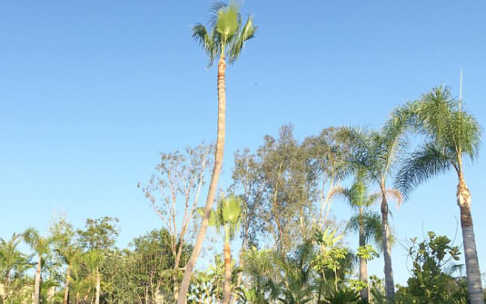 Tall skinned palm trees in Los Angeles