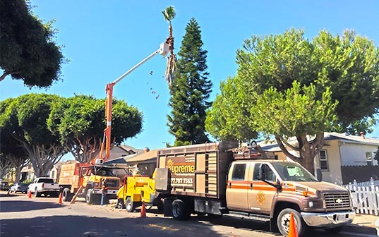 Supreme Tree Experts truck trimming a palm tree in santa ana