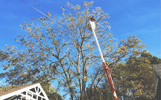Supreme Tree Experts worker maintaining tree in los angeles california