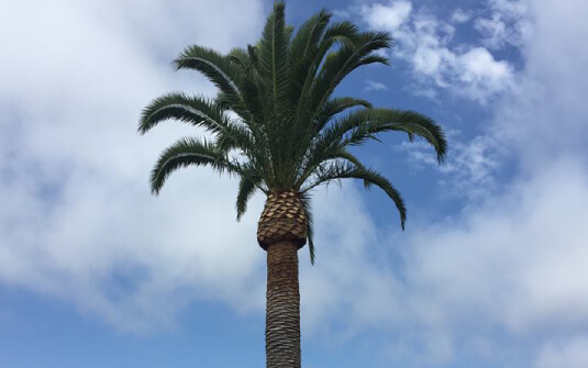 Top view of skinned palm tree with blue sky in orange county
