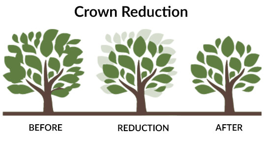 Tree Crown Reduction Before and After Diagram