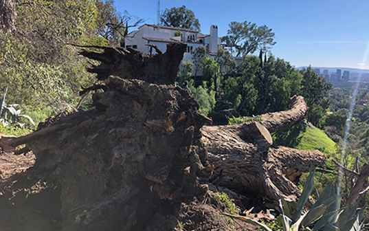 large fallen tree with roots exposed on residential hillside