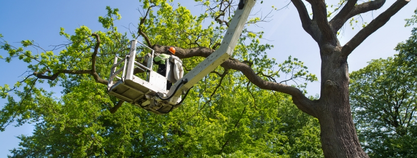 tree being trimmed by a certified arborist on a crane in southern california