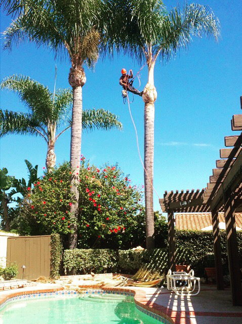 Palm Tree Trimming Orange County CA
